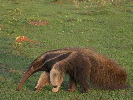 Giant_Anteater_by_A_Whittaker